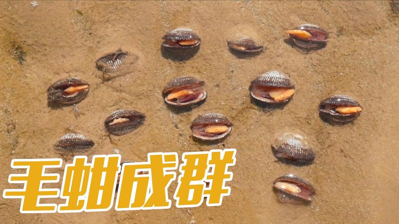 【English sub】今天沙滩毛蚶格外多呀,还有大石斑鱼和八爪,捡的真过瘾!【赶海小章】