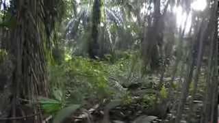murai batu  gila vs mb hutan