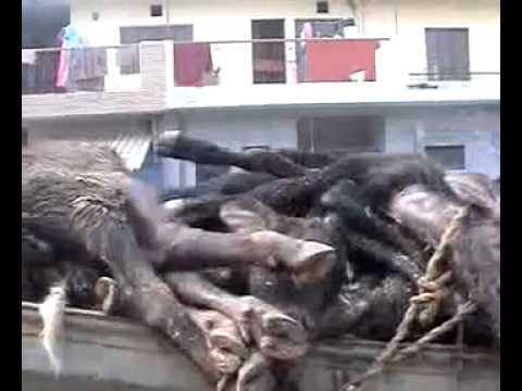 The Truth behind Milk Production - Horrors in Dairy Industry - Lets prevent sufferings of animals