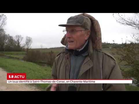Un loup a été vu à plusieurs reprises dans une petite commune du sud de la Charente-Maritime.