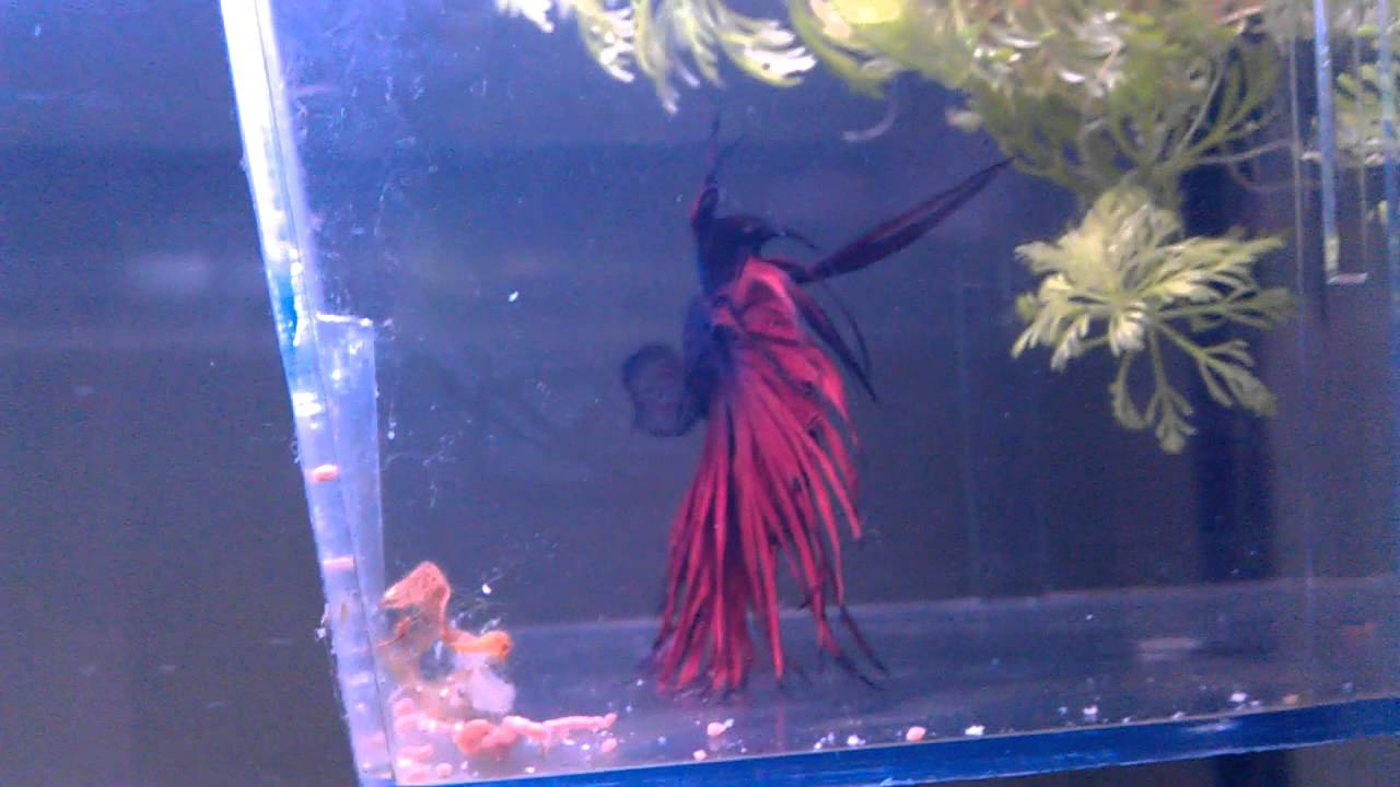 Betta tank how to keep multiple fish in 1 tank youtube for How to maintain fish tank