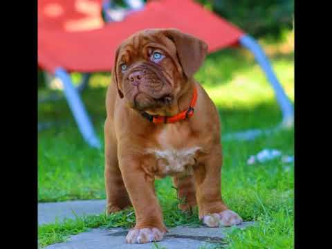 Dogue De Bordeaux Blue Eyes You