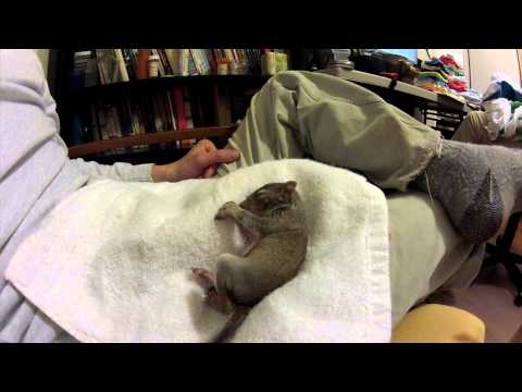 Sleeping, dreaming, twitching, baby squirrel