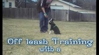 2-17-14 Deaf Boston Terrier Training Off Leash With A Vibration Collar