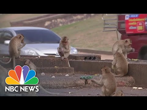 Monkey Business: How COVID-19 Impacted Local Species In Thailand | NBC News NOW