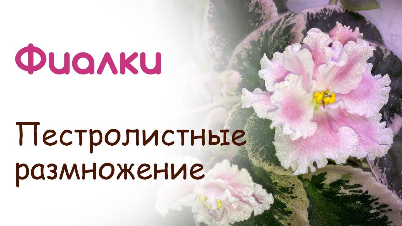 Размножение цветы фиалки