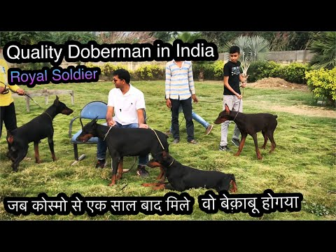 Amazing Dobermans  of Royal Soldier. Met my Doberman Cosmos after one year. Priceless moment