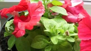6.07.17. Петуния, невеста - так сейчас цветут. Традесканция с маг, спустя месяц - сверху разрослась.
