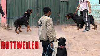 Rottweiler Rocky junto a grandes ejemplares  Rottweiler dog at a dog meeting
