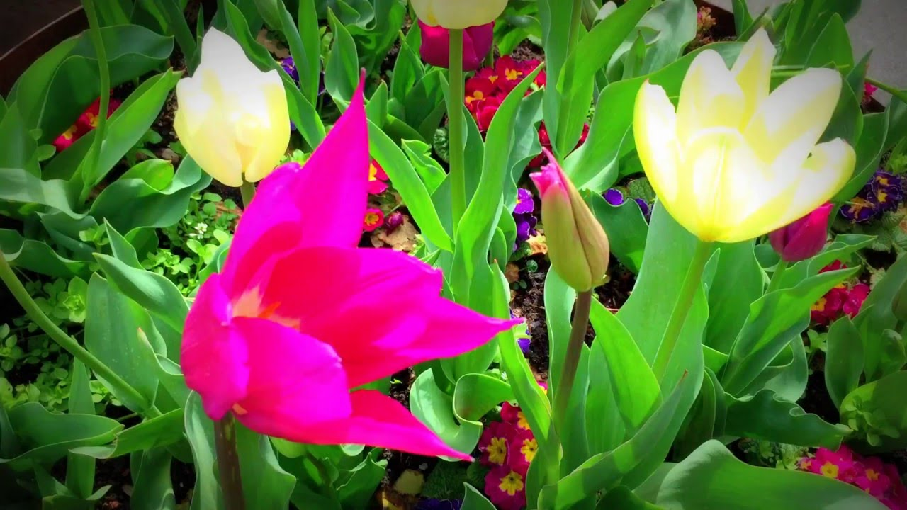 British Spring Flowers White Yellow Tulip Cluster Pink Blue
