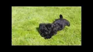Yorkshire Terrier X Bichon Frise Puppy