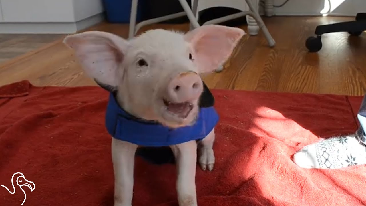Wee Wee The Pig Gets A Second Chance At Life Youtube