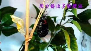 大鳳蝶羽化精彩片段.