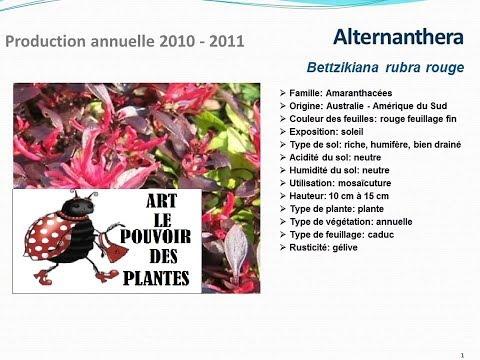 Tuto jardin:Alternanthera Bettzikiana rubra rouge: fiche technique plante annuelle