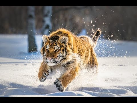 Дикая природа  России   Wildlife in Russia   National Geographic 4K Ultra HD - Видео онлайн