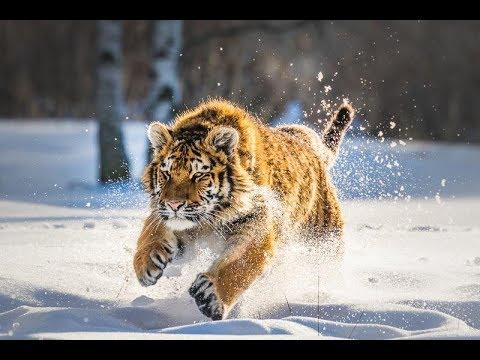 Дикая природа  России   Wildlife in Russia   National Geographic 4K Ultra HD - Видео онлайн