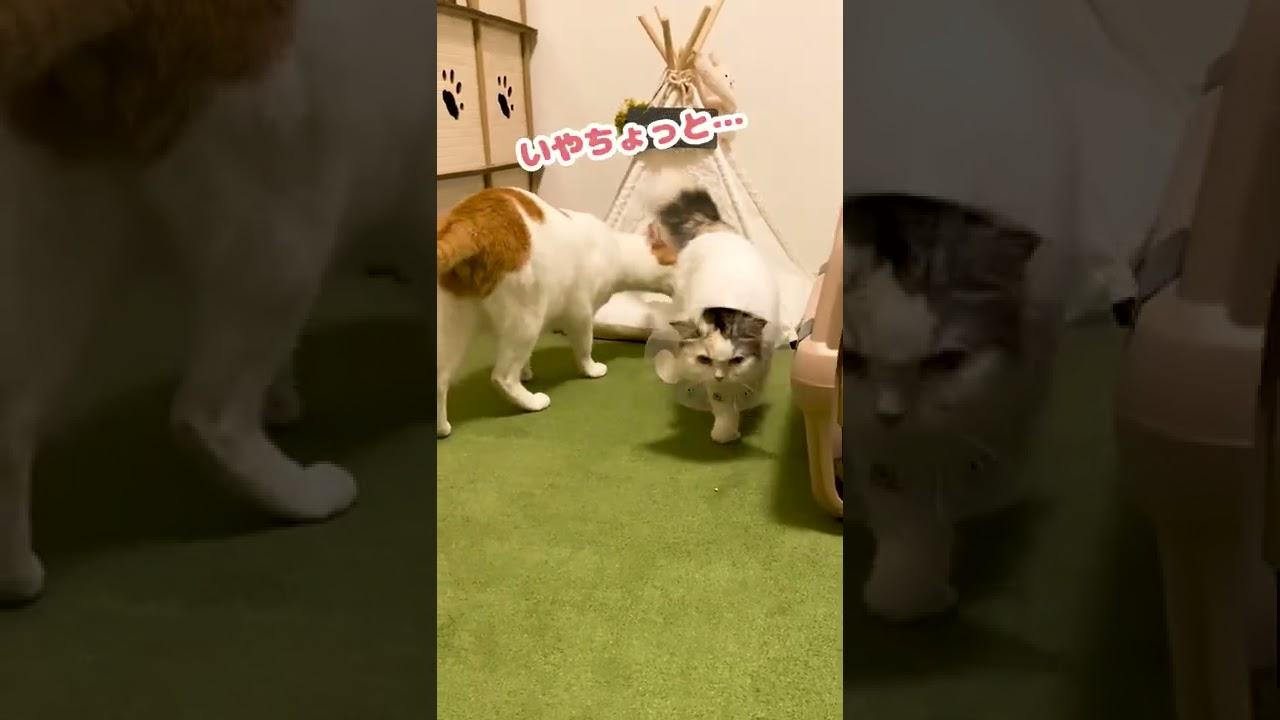 避妊手術をされてご機嫌ななめな猫【おしゃべりする猫】 #Shorts