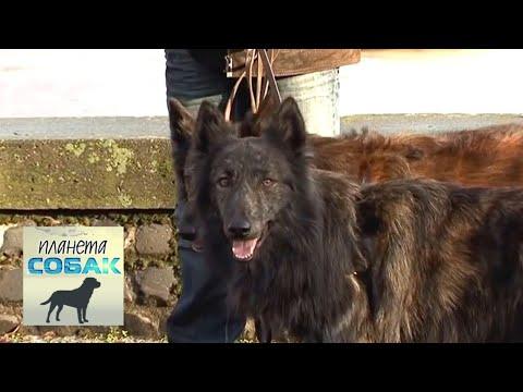 Хердер (голландская овчарка). Планета собак 🌏 Моя Планета