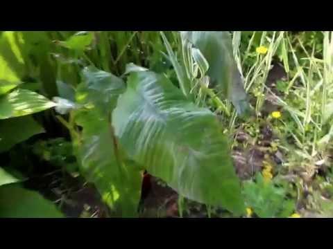 Anubias heterophylla + gigantea