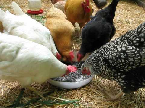 Hens Eating Black Sunflower Seeds YouTube