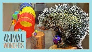 Porcupine Does an Obstacle Course! thumbnail