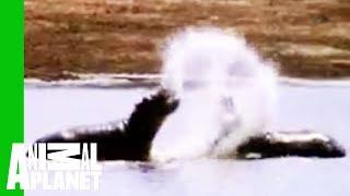 Animal Face-Off: Hippo vs. Bull Shark
