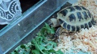 Черепахи едят листья одуванчика