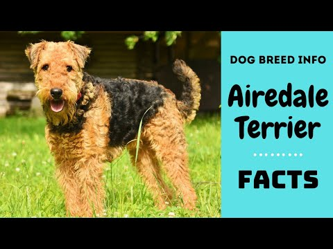 Airedale terrier dog breed. All breed characteristics and facts about Airedale terrier