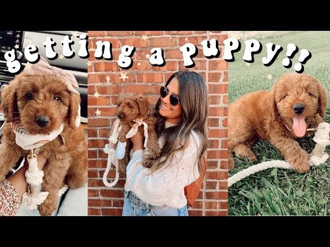 I GOT A PUPPY!!! Picking up our mini goldendoodle puppy!