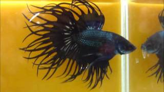 Black Copper and Red fin Black Copper King Crowntail Betta fish