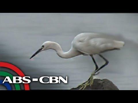 Bandila: Migratory birds, makikita sa nature reserve sa Parañaque
