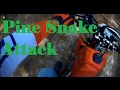 Florida Pine Snake Attacks Motorcyclist