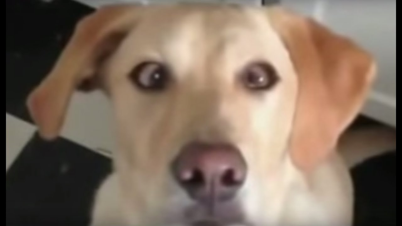 cross eyed retriever dog youtube