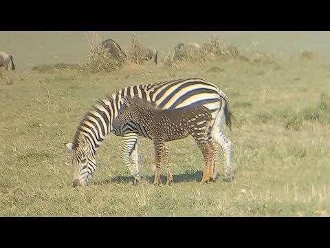 Rare Mutated Zebra Has Spots