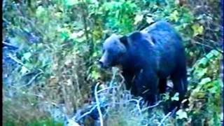 Grizzly Bears - Too Close for Comfort !!! ( Trailer )
