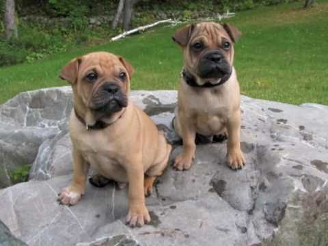 shar pei pug puppy pictures youtube. Black Bedroom Furniture Sets. Home Design Ideas