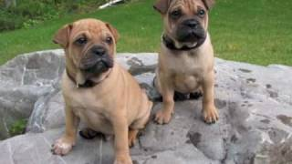 Shar Pei Pug Puppy Pictures
