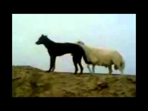 Sheep Mating with a Dog YouTube