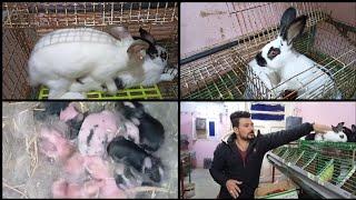 تلقييح الأرانب وعمر التزاوج كام شهر وهل ينفع اكتر من دكر.(حلقه643)