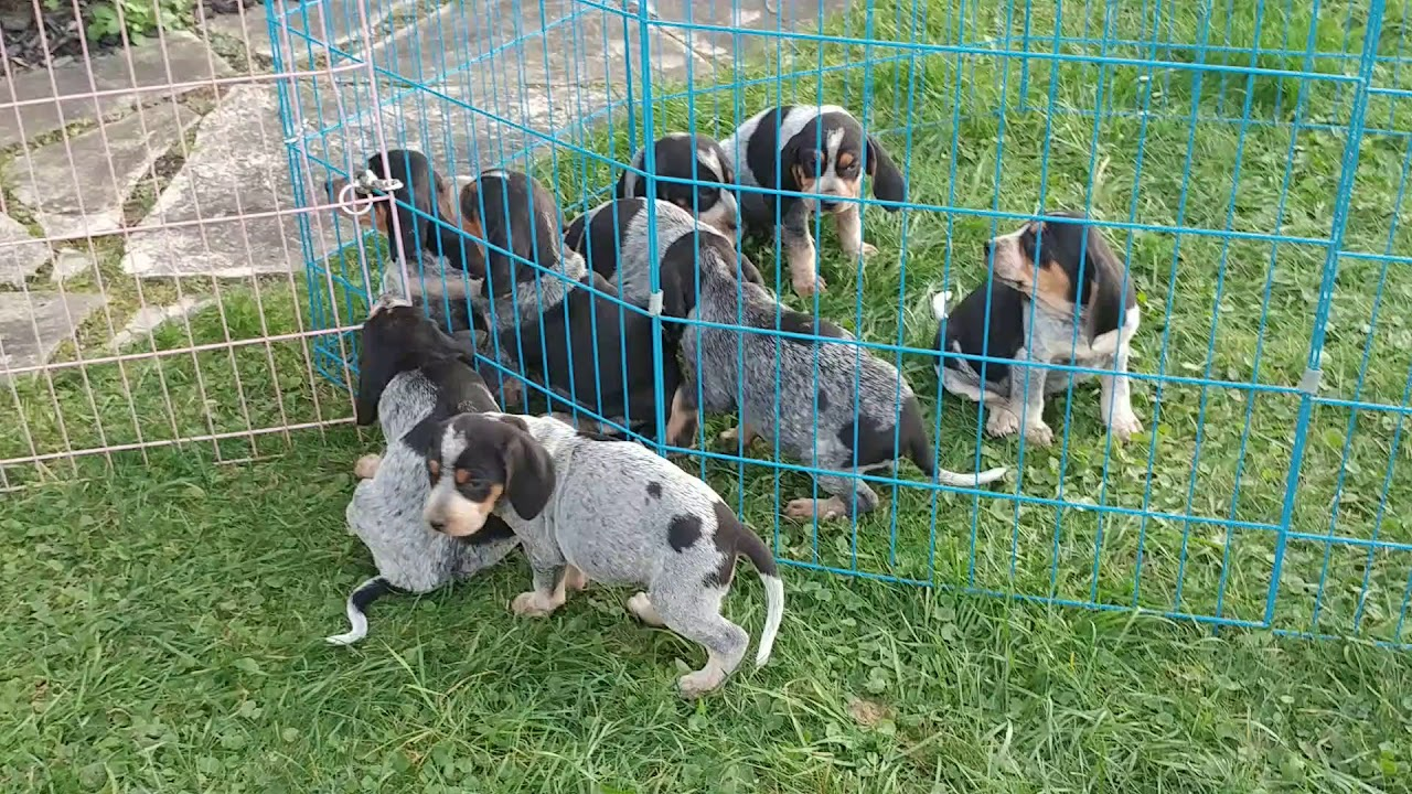 6 Week Old Bluetick Coonhound Puppies At River Styx Scent Hounds