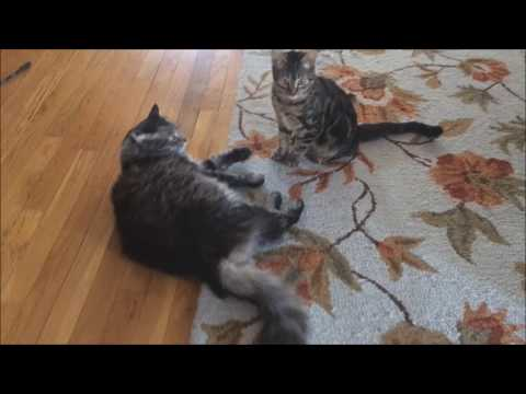 7 Month Old Kitten Terrorizing 8 Years Old Cat -)