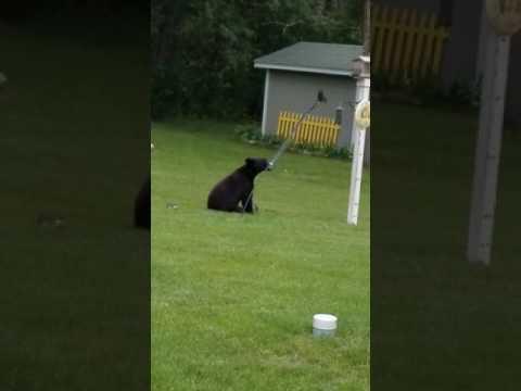 Bear in Princeton Minnesota