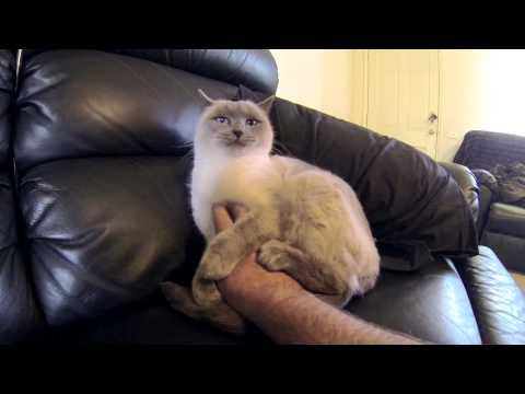 Ragdoll Cat Tummy Rubs On My Lounge - ラグドール - PoathTV Floppy Cat Video - PoathCats