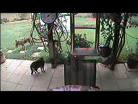 U-Report: Coyote Finds Cat In Backyard - 2010-10-26