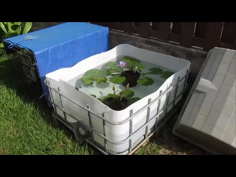 Raising Guppies In My Friend's Dozen Guppy And Water Lily Tubs