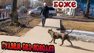 фаина питбуль)) собака гуляет по городу без поводка