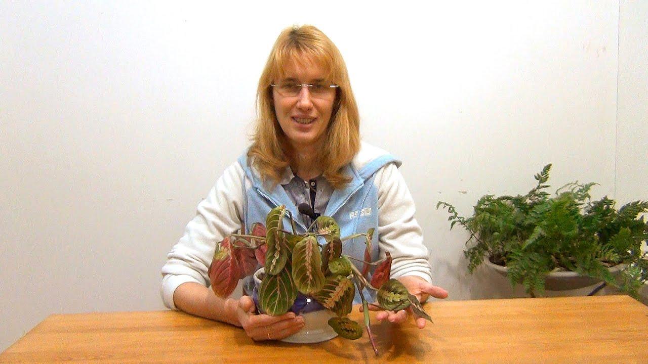 маранта трёхцветная фото