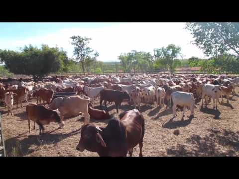 Mustering at Karma Waters Cattle Station