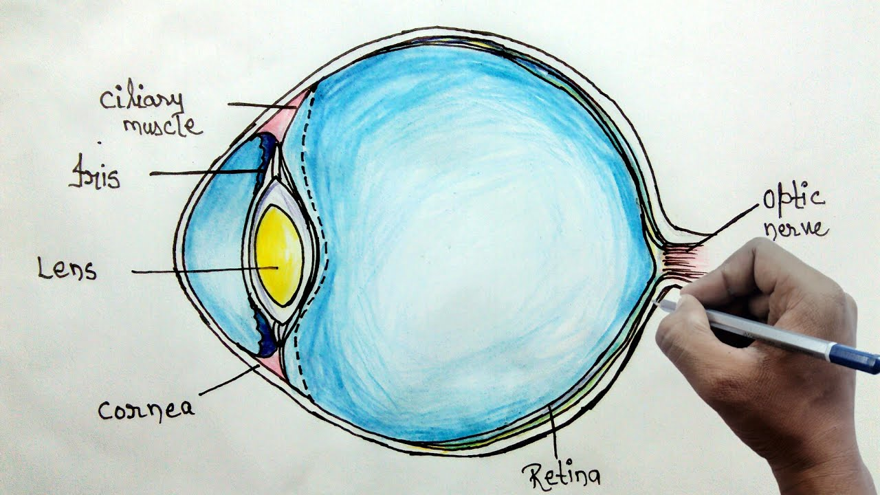 How to draw human eye diagram for beginners youtube retina optic iris ccuart Choice Image