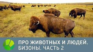 США. Бизоны. Часть 2 - Про животных и людей [Исправленная версия] | Живая Планета